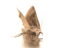 Night hawk moth Stock Images