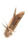 Night hawk moth Royalty Free Stock Photos