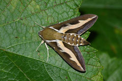 Night hawk moth (Hyles gallii) Stock Photos