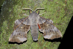 Night hawk moth(Laothoe populli) Royalty Free Stock Photography