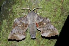Night hawk moth(Laothoe populli) Royalty Free Stock Photography