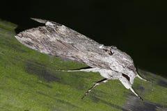 Night hawk moth (Sphinx convolvuli) Stock Images