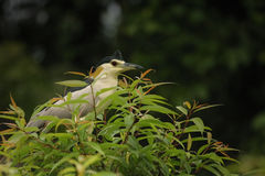 Night Heron. Perched on a branch at Ranganthittu national park in India Stock Photography