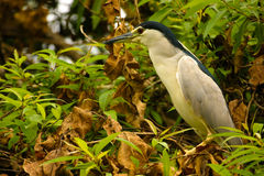 Night Heron. Perched on a tree surrounded by dry leaves Stock Photo