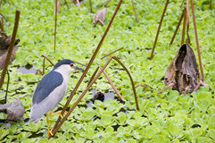 The night heron Stock Photos