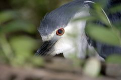 Night Heron. Hiding in a tree stock images