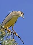 Night-heron Stock Images
