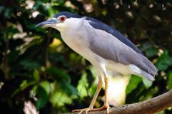 Night Heron Stock Photos
