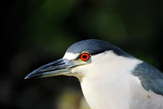Night Heron. Close-up portrait of a Black-crowned Night Heron in a South Florida park Royalty Free Stock Photography