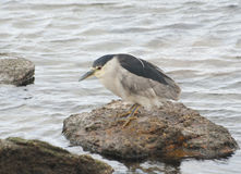 Night heron. Hunting at night heron Stock Photography