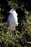 Night Heron Royalty Free Stock Images