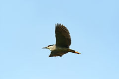Night-Heron Royalty Free Stock Image