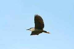 Night-Heron Royalty Free Stock Image