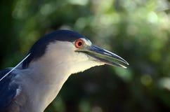 Night heron. (Nycticorax nycticorax) head closeup Stock Photo