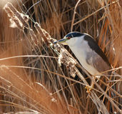 Night Heron Stock Image