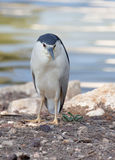 Night Heron Royalty Free Stock Image