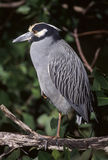 Night Heron. Yellow crowned Night Heron royalty free stock photo