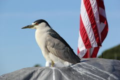 Night Heron and American Flag. A night heron looks over Mission Bay in San Diego with an American flag behind him Royalty Free Stock Photos