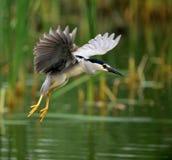 Night Heron. Being flown in Night Heron Stock Photography