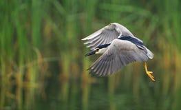 Night Heron stock photos