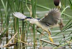 Night Heron. Being flown in Night Heron Stock Images