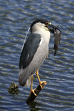 Night Heron  bird with catfish Stock Image