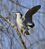 Night Heron Royalty Free Stock Photos