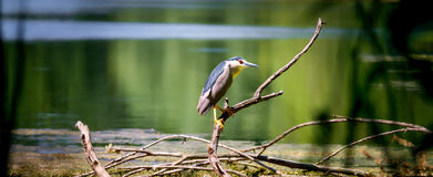 Night heron. This bird species belongs to the family of herons Stock Photos