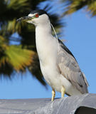 Night Heron Bird. A night heron surveys the area on a sunny day in San Diego Stock Images