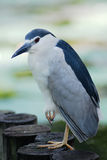 Night Heron Black-crowned Stock Images