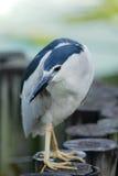 Night Heron Black-crowned Stock Images