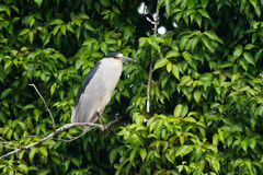 Night heron. Black-crowned night heron on a branch in Cano Negro Wetland, Costa Rica Stock Photos