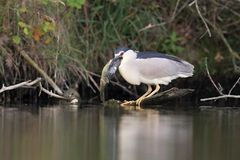 Night heron black crowned with the carp Stock Photos