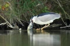 Night heron black crowned with the carp Royalty Free Stock Images