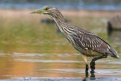 Night heron stock image