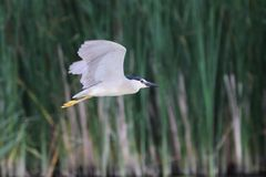 Night heron black crowned flyinf Royalty Free Stock Photos