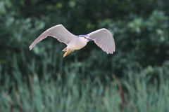 Night heron black crowned flying Royalty Free Stock Images