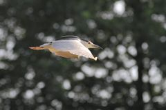 Night heron black crowned flying Royalty Free Stock Image