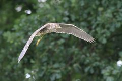 Night heron black crowned flying young bird Stock Photos