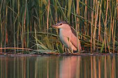 Night heron black crowned hunting in evening Royalty Free Stock Images