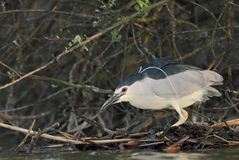 Night heron black crowned Stock Images