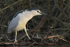 Night heron black crowned Royalty Free Stock Images