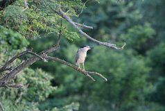 Night heron black crowned Royalty Free Stock Image