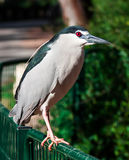Night Heron Stock Photography