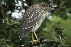 Night heron black crowned young bird Royalty Free Stock Photography