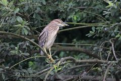 Night heron black crowned young bird Royalty Free Stock Photo