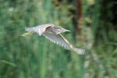 Night heron black crowned Stock Image