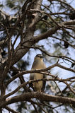 Night heron on a branch Royalty Free Stock Photography