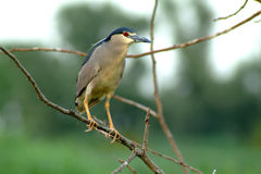 Night heron on a branch Stock Photos