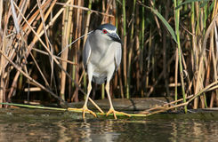 Night heron in breeding plumage hunting on the river. Close up view Royalty Free Stock Image